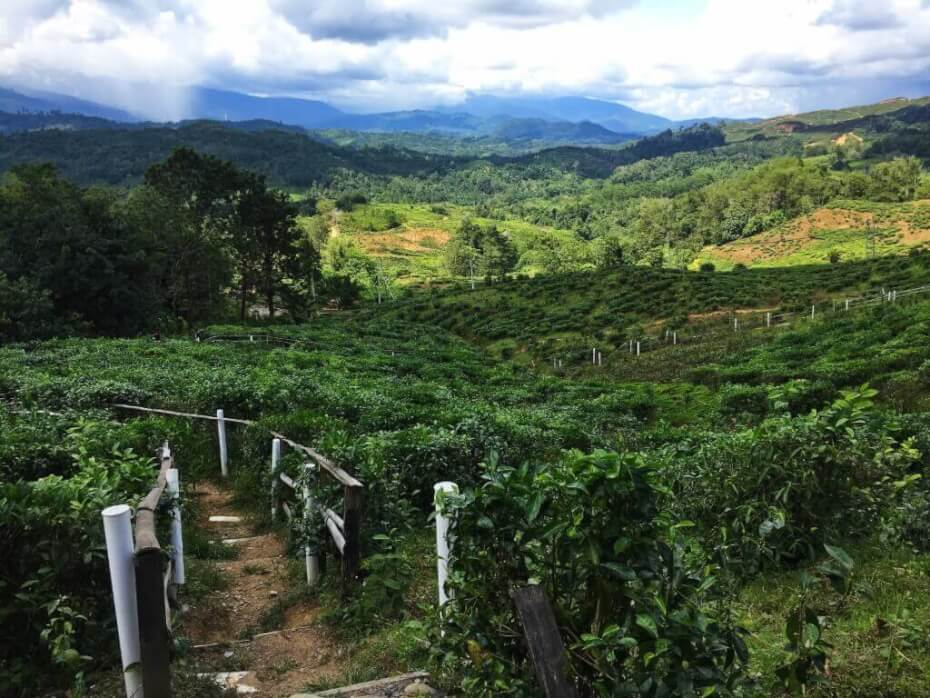 Sabah Tea Farm